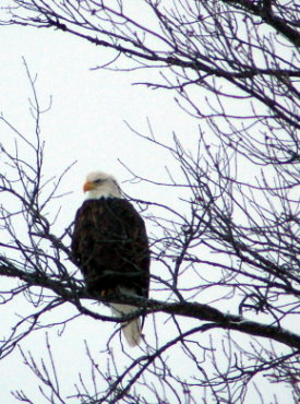 Bald Eagle in Tree Over Looking North Twin Lake