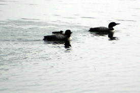 Loons on Water